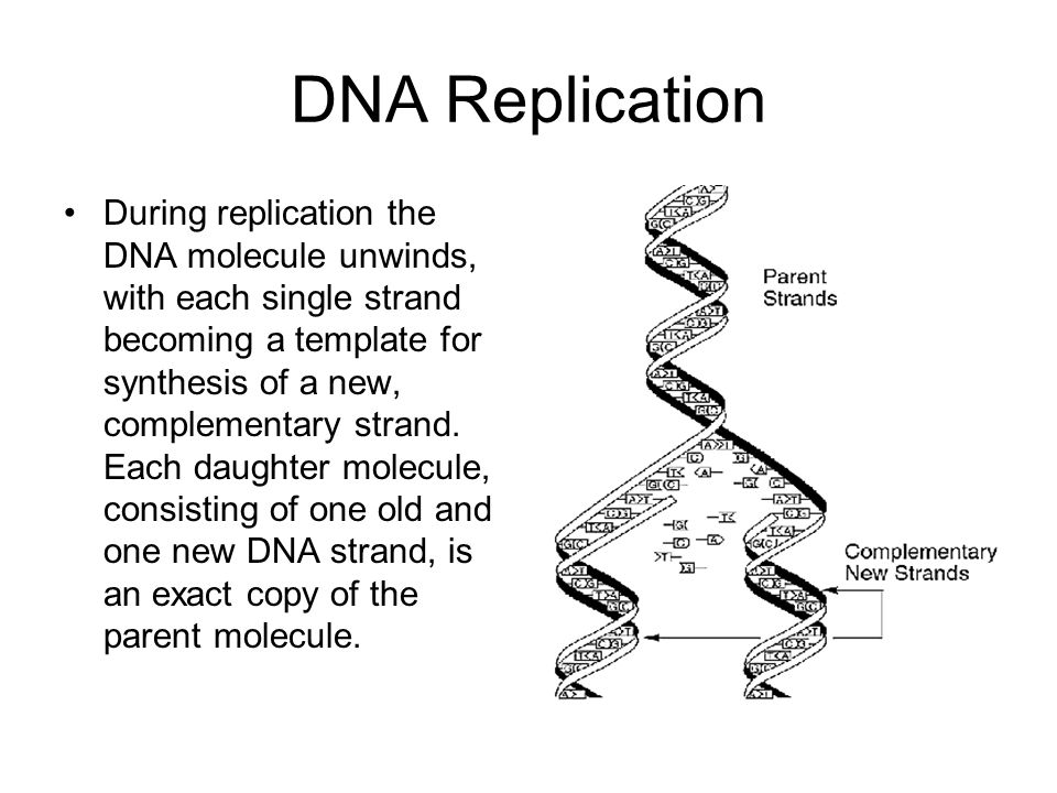 DNA Replication During replication the DNA molecule unwinds, with each single strand becoming a template for synthesis of a new, complementary strand.