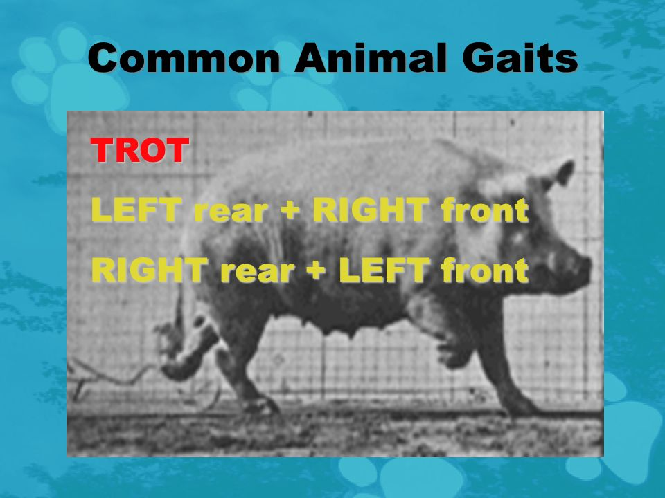 Common Animal Gaits WALK LEFT rear LEFT front RIGHT rear RIGHT front