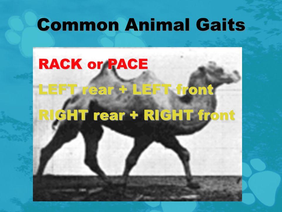 TRANSVERSE GALLOP LEFT rear + (delay) RIGHT rear LEFT front + (delay) RIGHT front