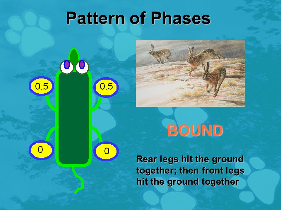 Pattern of Phases PACE Left legs hit the ground together; then right legs hit the ground together