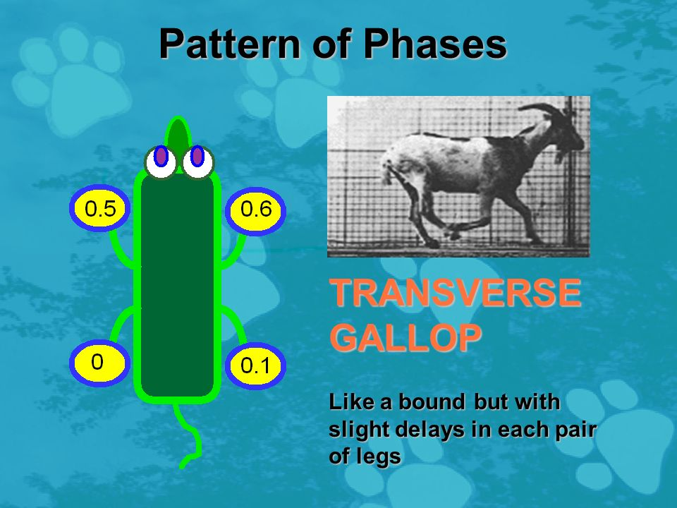 Pattern of Phases BOUND Rear legs hit the ground together; then front legs hit the ground together