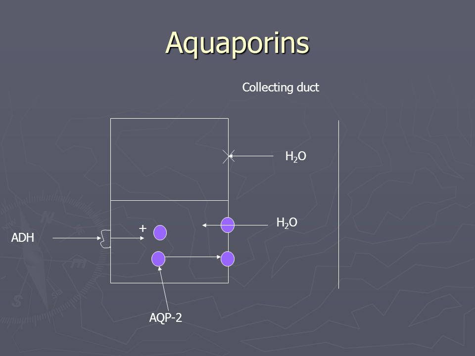 ADH + H2OH2O H2OH2O Collecting duct AQP-2 Aquaporins