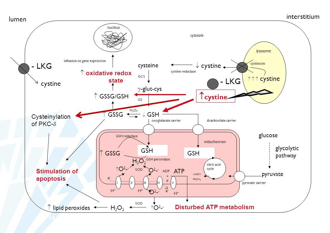 14 lysosome mitochonrion nucleus cystine cysteine cystine reductase cystinosin GCS -glut-cys GS GSH oxoglutarate carrier I IIIIIIV V ATP O 2 -. O2-.O2