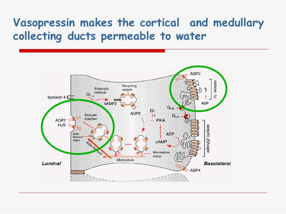 Vasopressin makes the cortical and medullary collecting ducts permeable to water