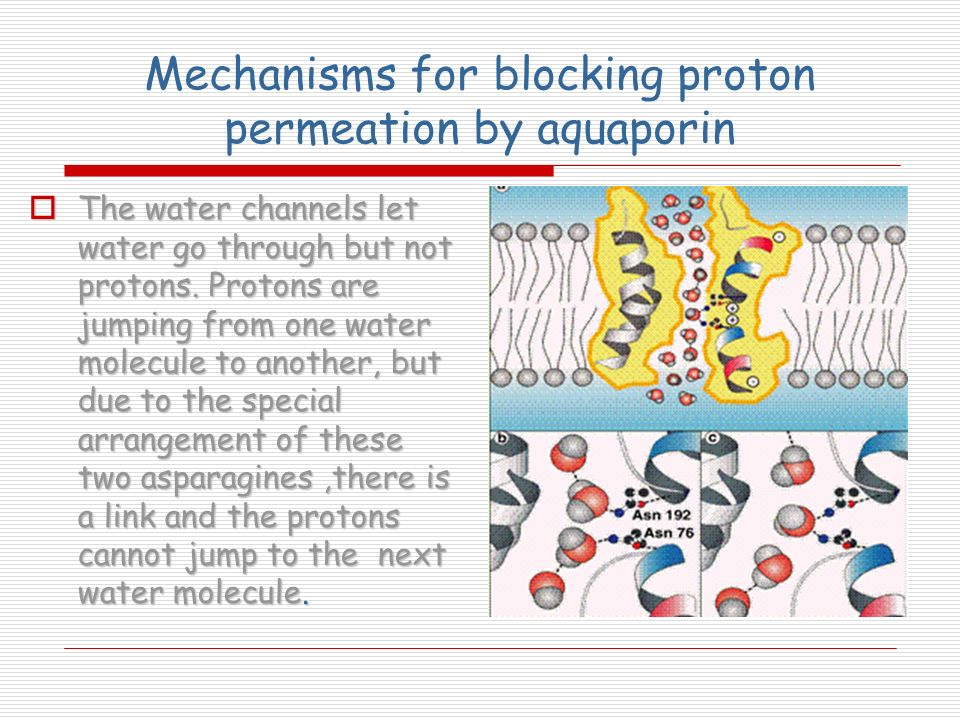 Mechanisms for blocking proton permeation by aquaporin The water channels let water go through but not protons. Protons are jumping from one water mol