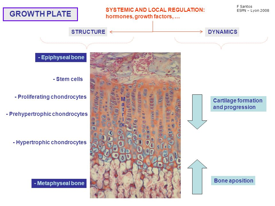 - Epiphyseal bone - Stem cells - Proliferating chondrocytes - Prehypertrophic chondrocytes - Hypertrophic chondrocytes - Metaphyseal bone GROWTH PLATE MatrixMatrix STRUCTURE SYSTEMIC AND LOCAL REGULATION: hormones, growth factors, … Cartilage formation and progression Bone aposition DYNAMICS F Santos ESPN – Lyon 2008