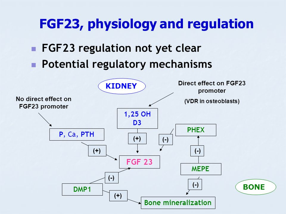 FGF23, physiology and regulation FGF23 regulation not yet clear Potential regulatory mechanisms FGF 23 P, Ca, PTH DMP1 MEPE PHEX 1,25 OH D3 (+) (-) (+) No direct effect on FGF23 promoter Direct effect on FGF23 promoter (VDR in osteoblasts) Bone mineralization (-) (+) BONE KIDNEY (-)