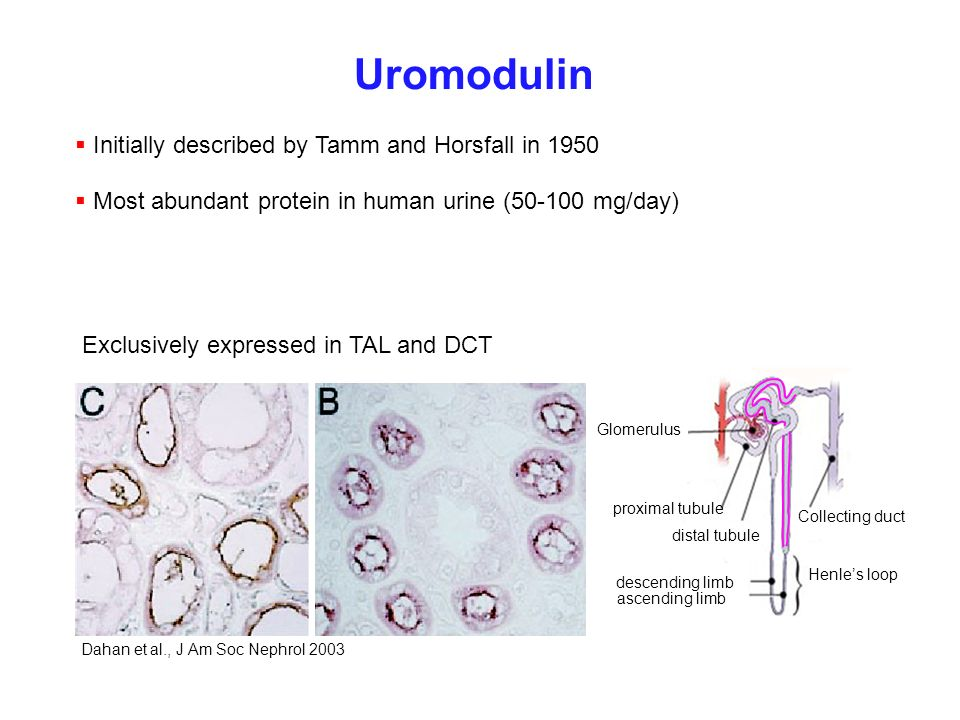Uromodulin Most abundant protein in human urine (50-100 mg/day) Glomerulus Henles loop Collecting duct descending limb ascending limb proximal tubule
