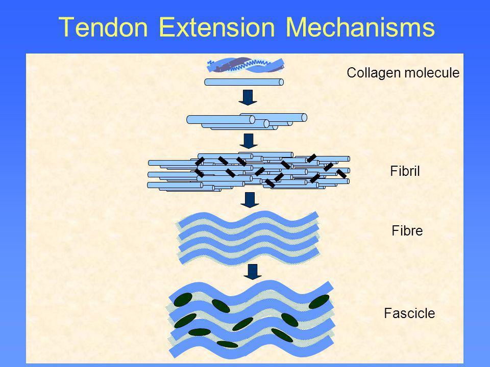 Tendon Extension Mechanisms Collagen molecule Fibril Fibre Fascicle