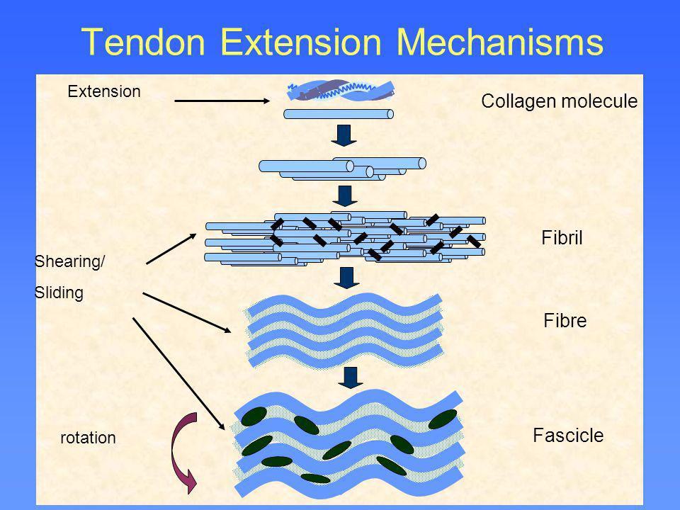 Tendon Extension Mechanisms Shearing/ Sliding Extension rotation Collagen molecule Fibril Fibre Fascicle