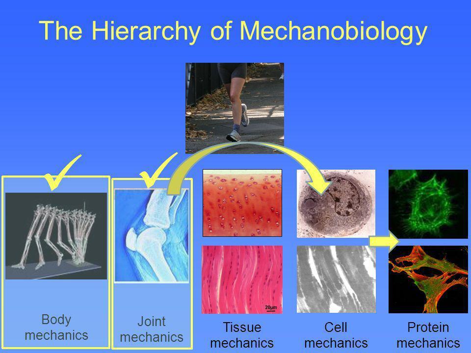 The Hierarchy of Mechanobiology Body mechanics Joint mechanics Tissue mechanics Cell mechanics Protein mechanics