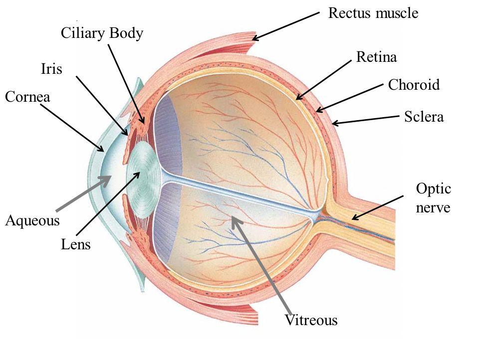 Lens Aqueous Cornea Iris Ciliary Body Rectus muscle Retina Choroid Sclera Optic nerve Vitreous