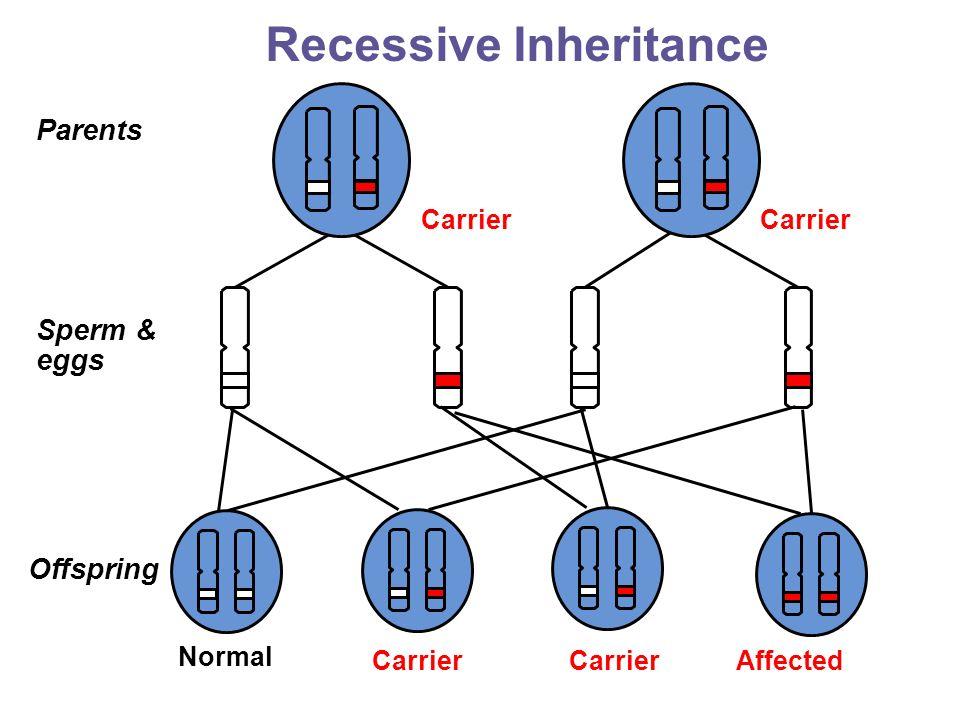 Offspring Sperm & eggs AffectedCarrier Parents Carrier Normal Recessive Inheritance