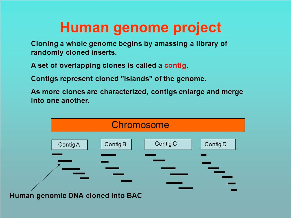 Human genome project Cloning a whole genome begins by amassing a library of randomly cloned inserts. A set of overlapping clones is called a contig. C