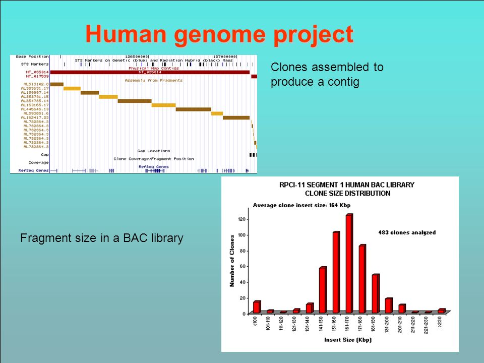 Human genome project Clones assembled to produce a contig Fragment size in a BAC library