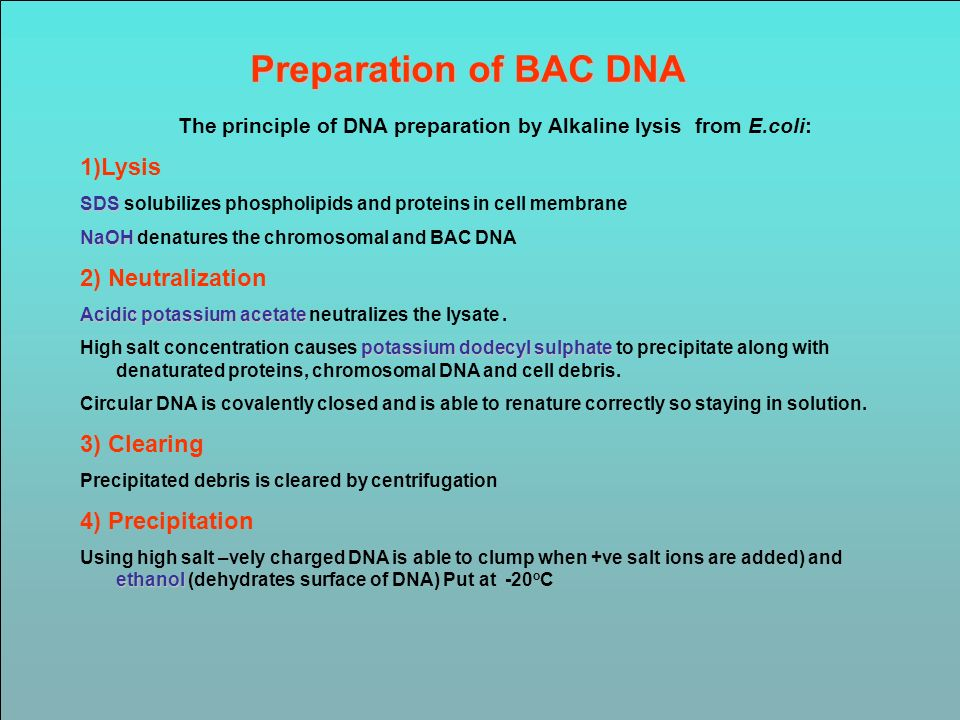Preparation of BAC DNA The principle of DNA preparation by Alkaline lysis from E.coli: 1)Lysis SDS SDS solubilizes phospholipids and proteins in cell