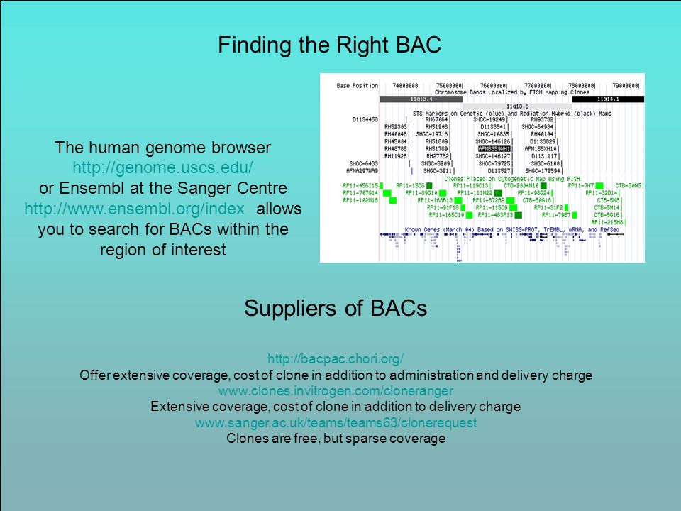 Finding the Right BAC The human genome browser http://genome.uscs.edu/ or Ensembl at the Sanger Centre http://www.ensembl.org/index allows you to sear