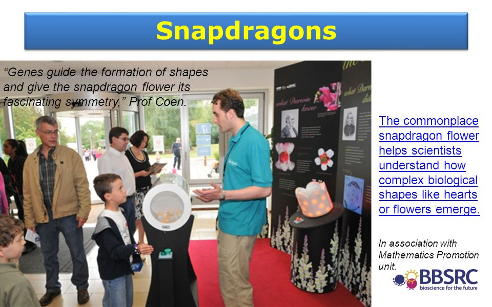 Snapdragons In association with Mathematics Promotion unit. Genes guide the formation of shapes and give the snapdragon flower its fascinating symmetr
