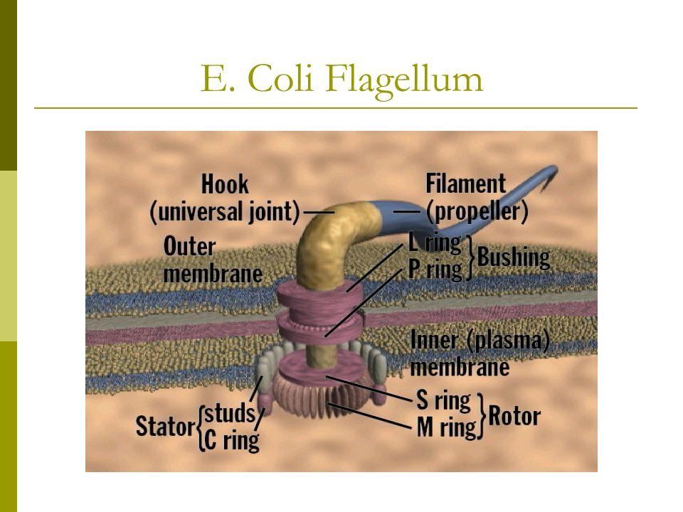 E. Coli Flagellum