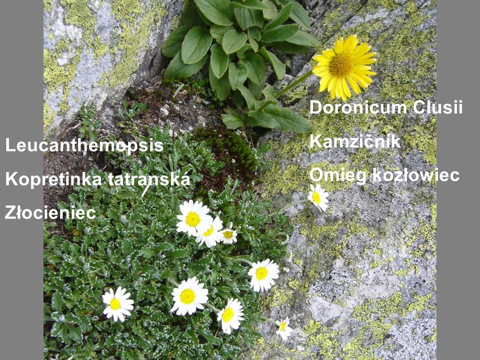 Leucanthemopsis Kopretinka tatranská Złocieniec Doronicum Clusii Kamzičník Omieg kozłowiec