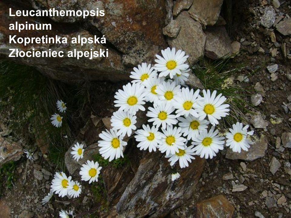 Leucanthemopsis alpinum Kopretinka alpská Złocieniec alpejski