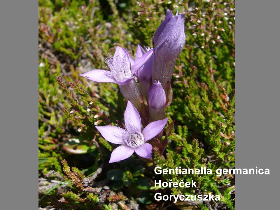 Gentianella germanica Hořeček Goryczuszka
