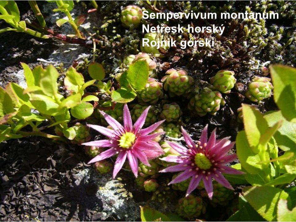 Sempervivum montanum Netřesk horský Rojnik górski