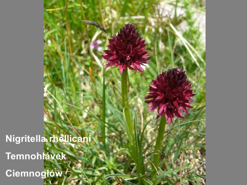 Nigritella rhellicani Temnohlávek Ciemnogłów