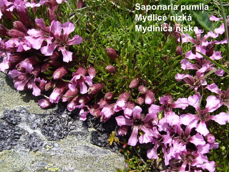 Saponaria pumila Mydlice nizká Mydlnica niska