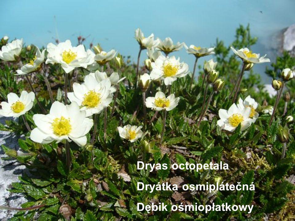 Dryas octopetala Dryátka osmiplátečná Dębik ośmiopłatkowy