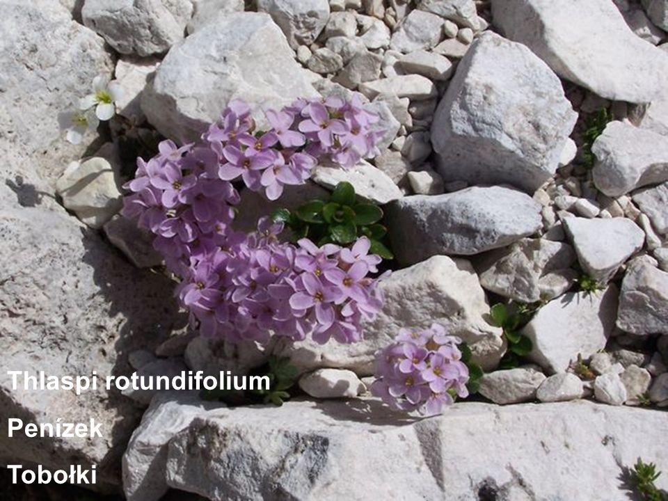 Thlaspi rotundifolium Penízek Tobołki