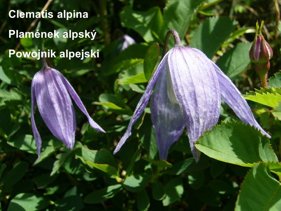 Clematis alpina Plamének alpský Powojnik alpejski
