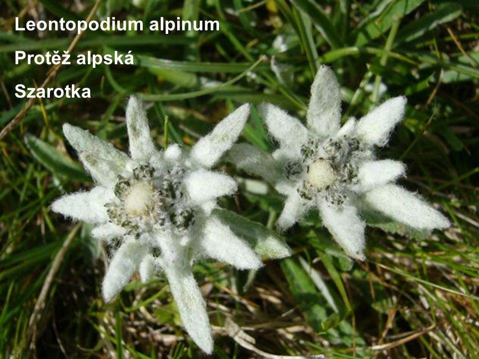 Leontopodium alpinum Protěž alpská Szarotka