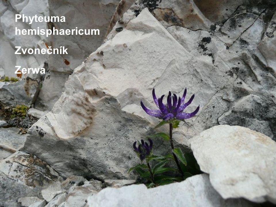 Phyteuma hemisphaericum Zvonečník Zerwa