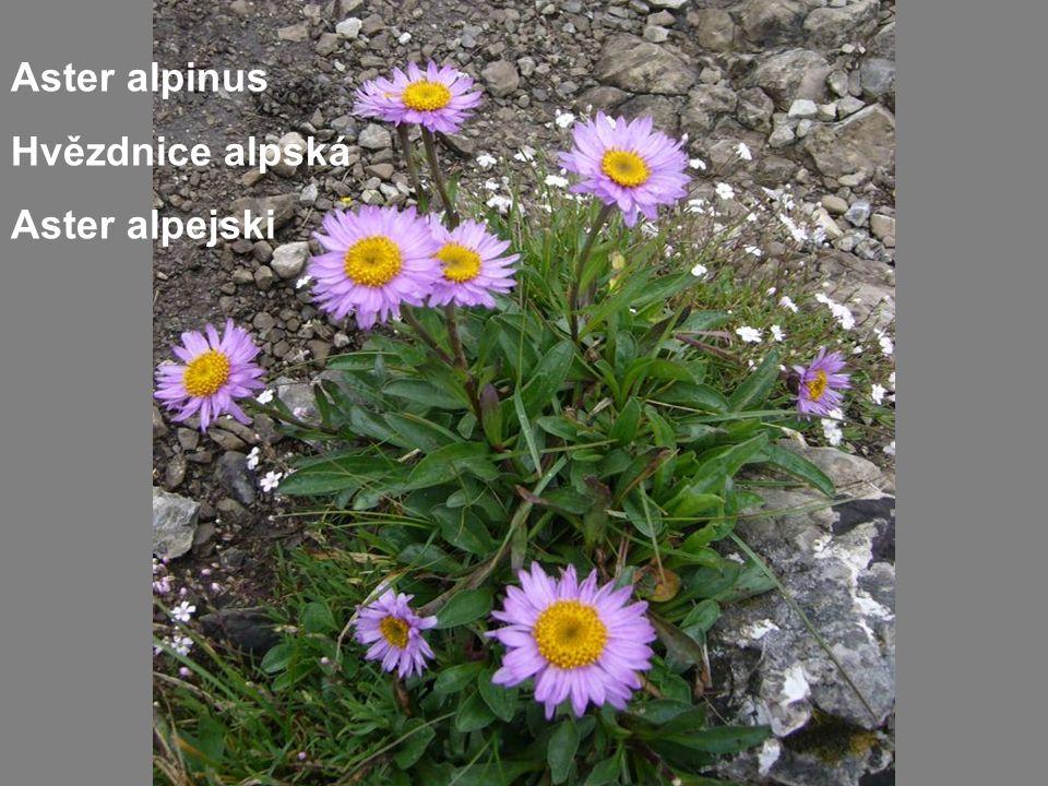 Aster alpinus Hvězdnice alpská Aster alpejski