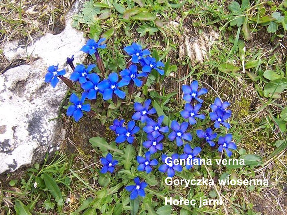 Gentiana…………….. Goryczka…………… Heřec………………. Gentiana verna Goryczka wiosenna Hořec jarní
