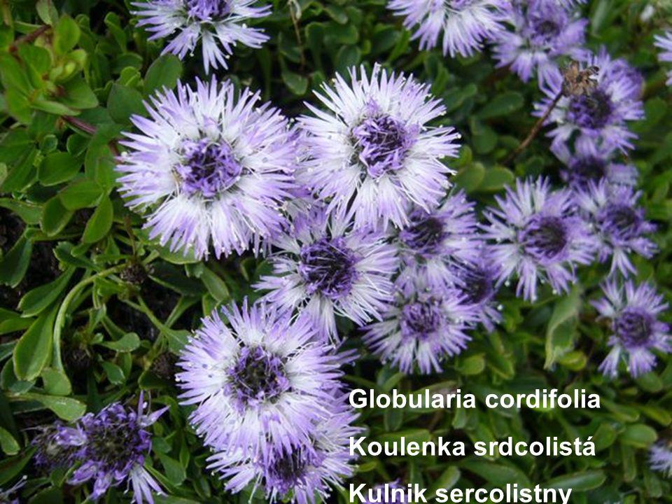 Globularia cordifolia Koulenka srdcolistá Kulnik sercolistny