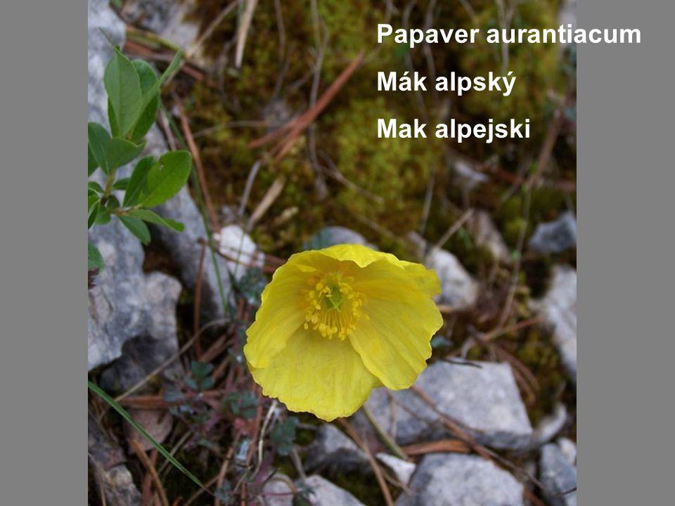 Papaver aurantiacum Mák alpský Mak alpejski