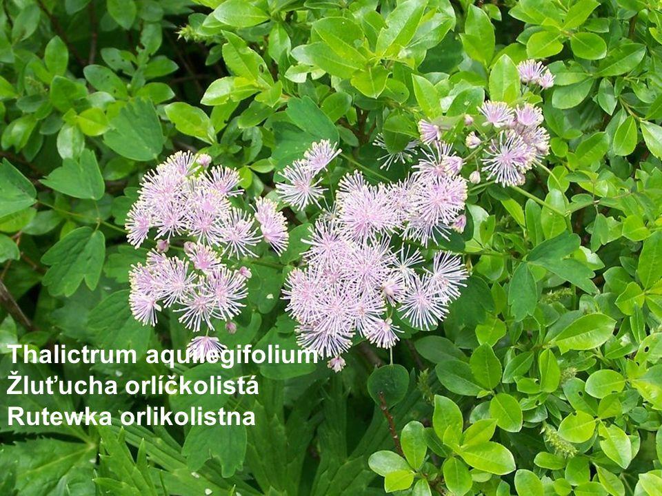 Thalictrum aquilegifolium Žluťucha orlíčkolistá Rutewka orlikolistna