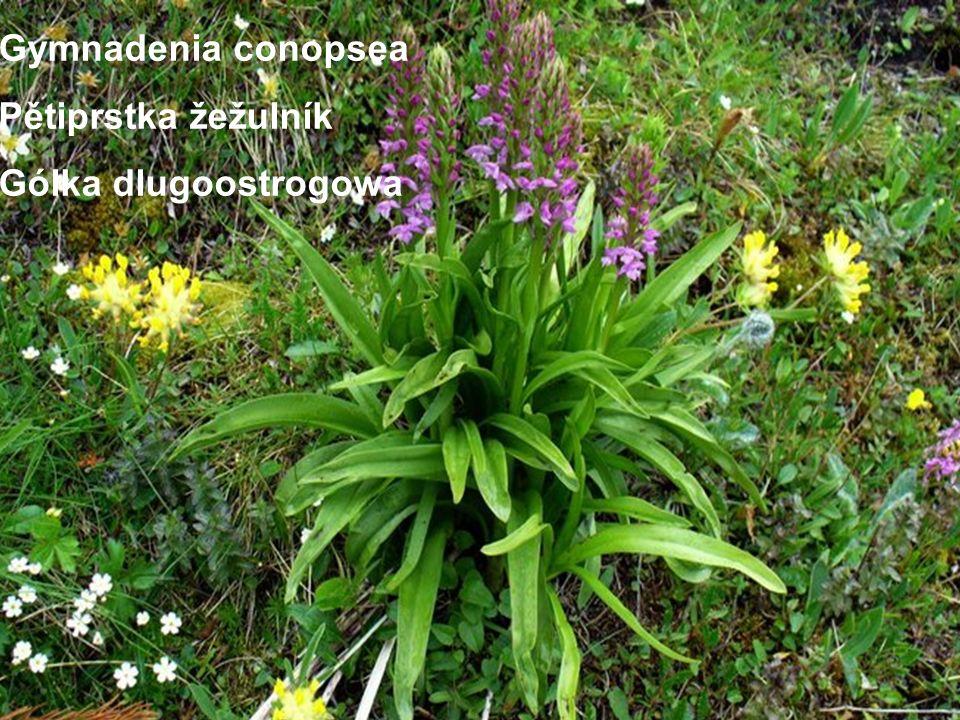 Gymnadenia conopsea Pětiprstka žežulník Gólka dlugoostrogowa