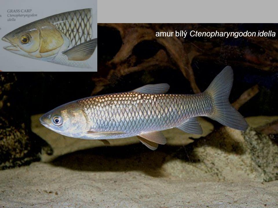 amur bílý Ctenopharyngodon idella