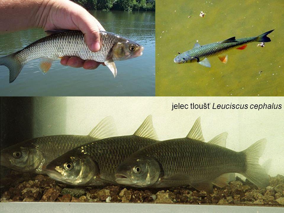 jelec tloušť Leuciscus cephalus