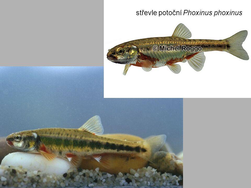 střevle potoční Phoxinus phoxinus