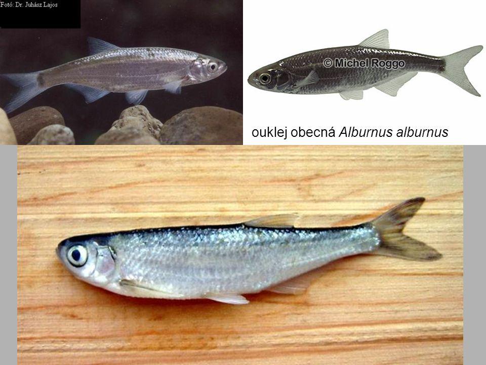 ouklej obecná Alburnus alburnus