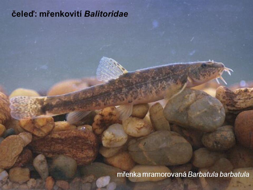 mřenka mramorovaná Barbatula barbatula čeleď: mřenkovití Balitoridae