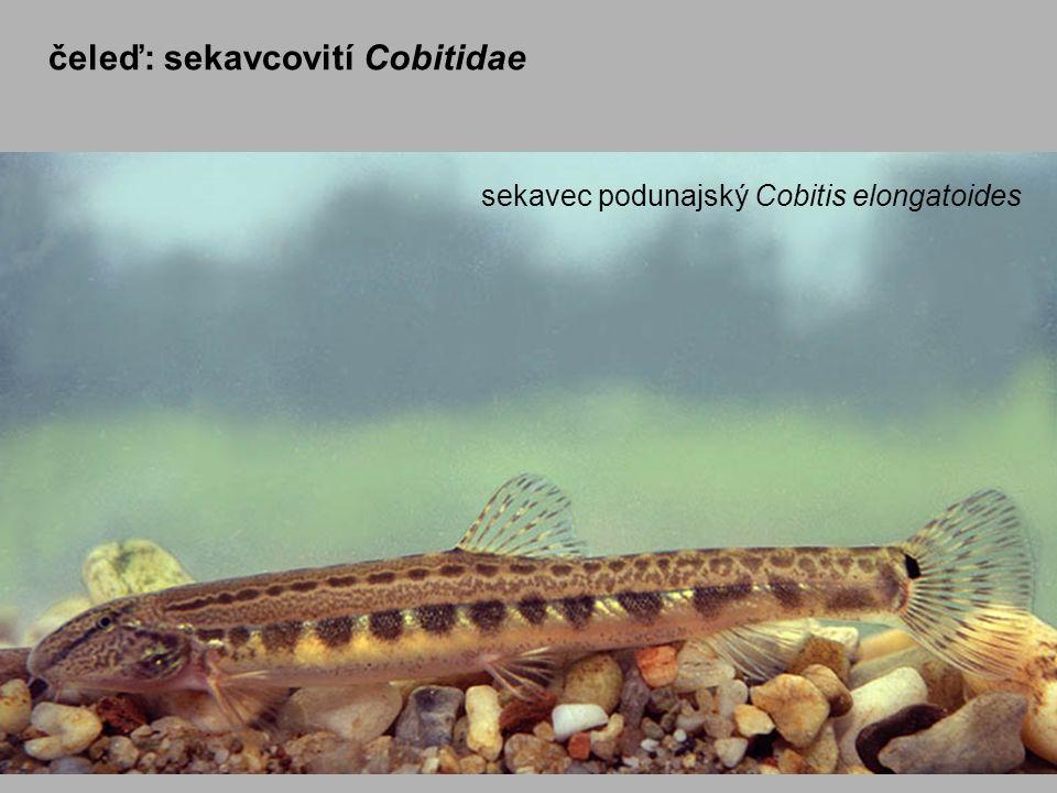 čeleď: sekavcovití Cobitidae sekavec podunajský Cobitis elongatoides