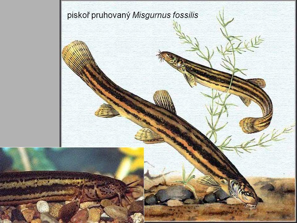 piskoř pruhovaný Misgurnus fossilis