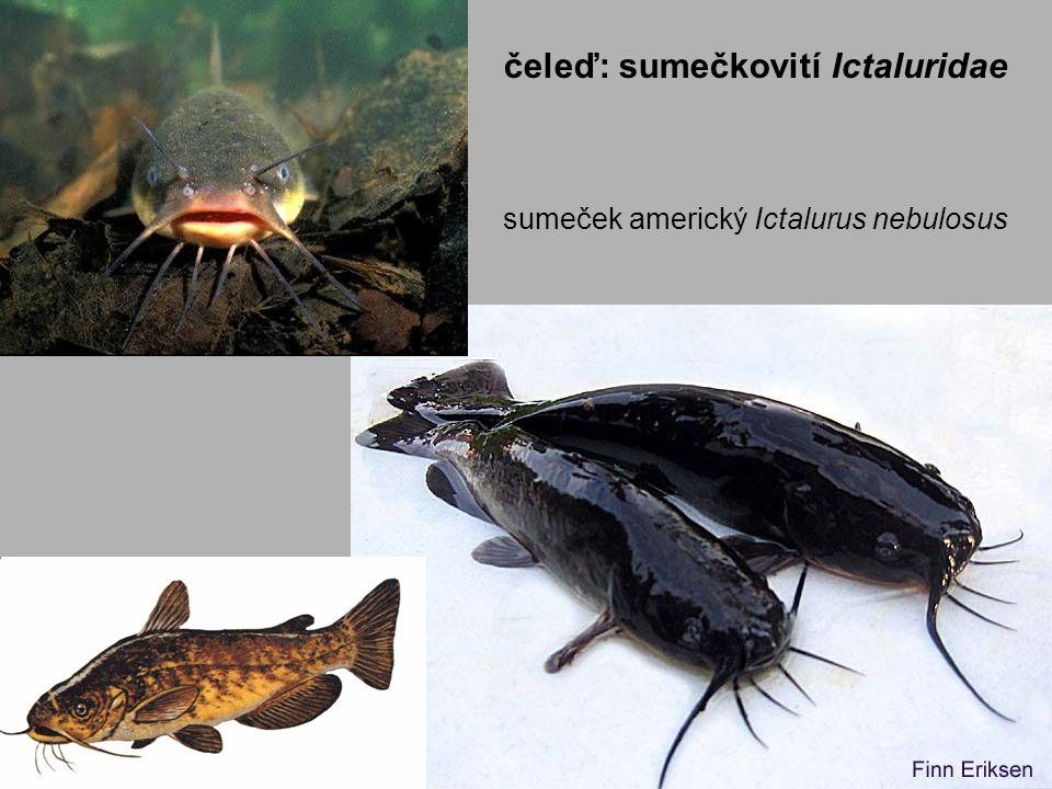 sumeček americký Ictalurus nebulosus čeleď: sumečkovití Ictaluridae