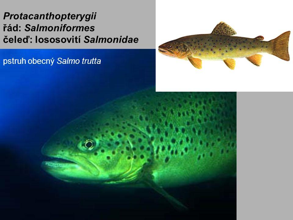 Protacanthopterygii řád: Salmoniformes čeleď: lososovití Salmonidae pstruh obecný Salmo trutta