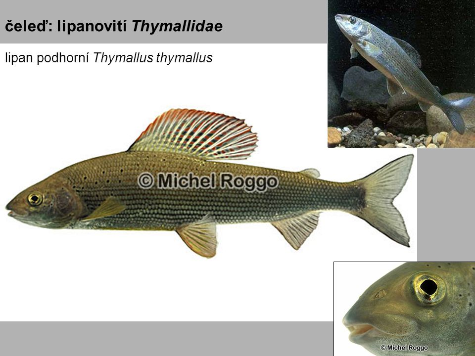 čeleď: lipanovití Thymallidae lipan podhorní Thymallus thymallus